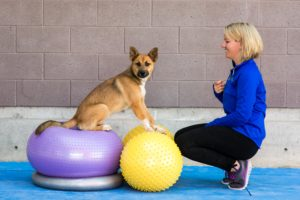 A trainer works with a dog using FitPAWS equipment.