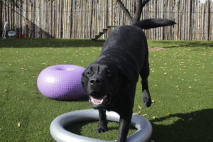A black Lab in training enjoys the FitPAWS activities at Assistance Dogs of the West.