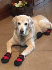 Whistle, the retired service dog, in Ultra Paws Durable Boots